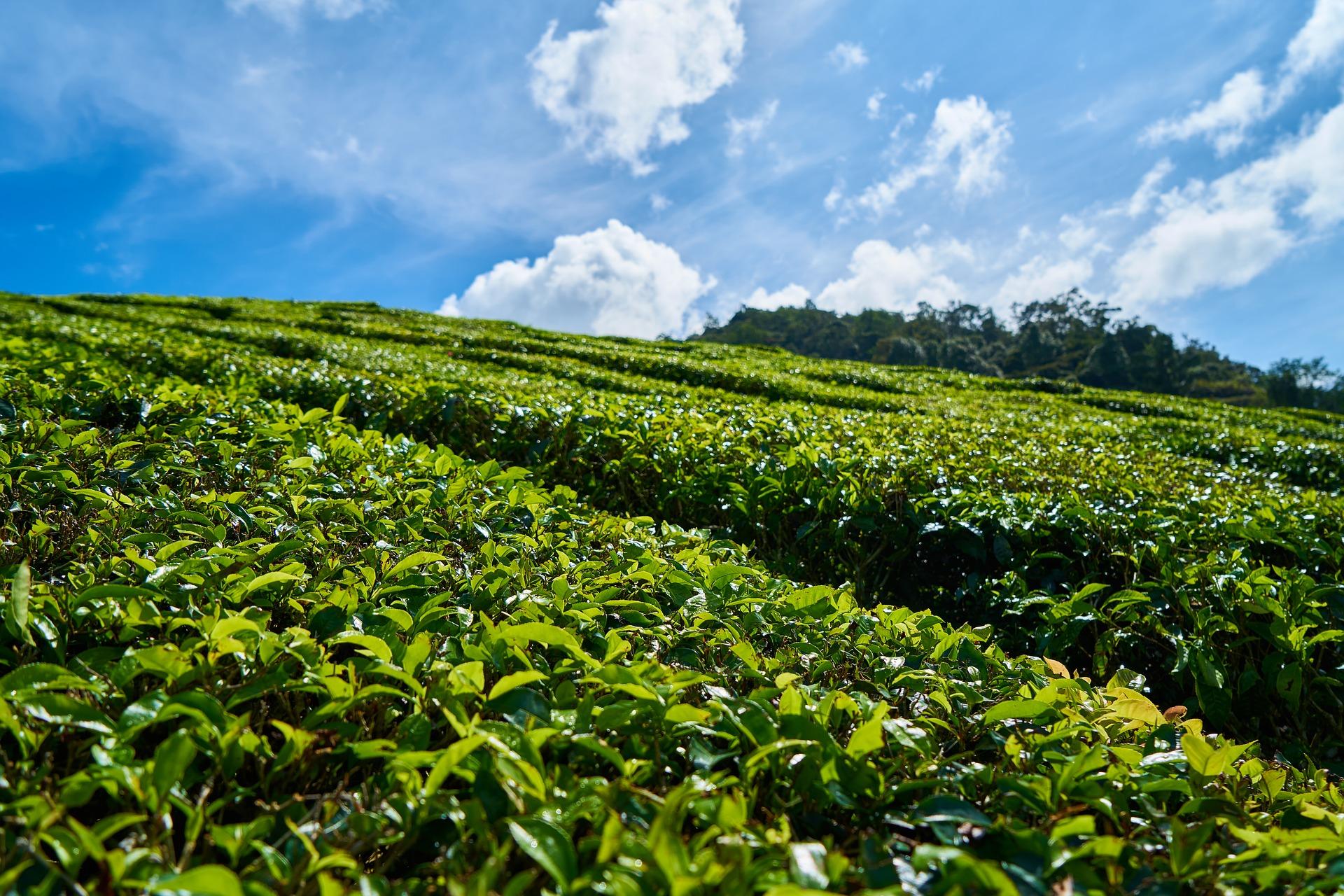 Tea_Tree_Essential_Oil
